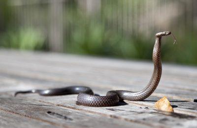 Ular Kobra di Kota Depok